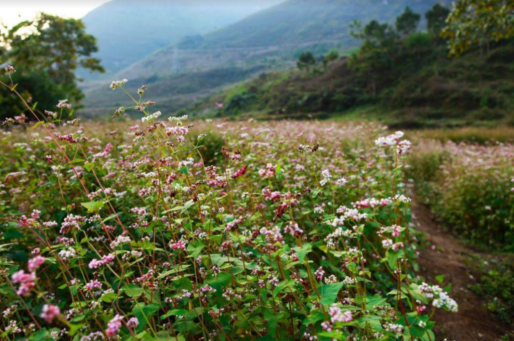 rừng hoa tam giác mạch